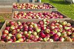 Apple Sorting, Check Weighing, Food and Beverage industry.